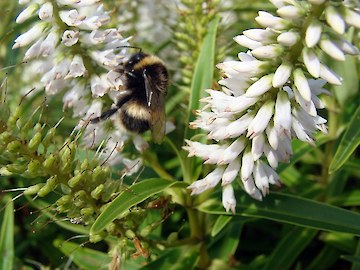 Bumblebee busy pollinating