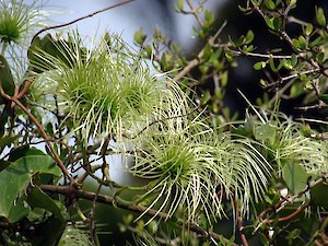 Native clematis seed (Clematis paniculata)