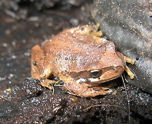 Brown tree frog