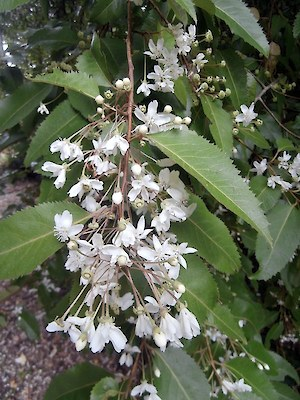 Lacebark - native weed (tree)