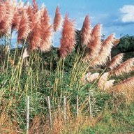 Pampass grass (photo NZPCN)